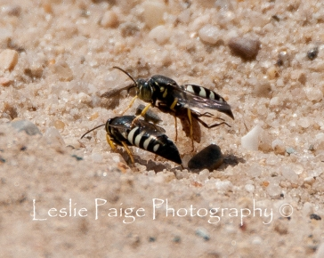 Hornets - Mating and Nesting (26)
