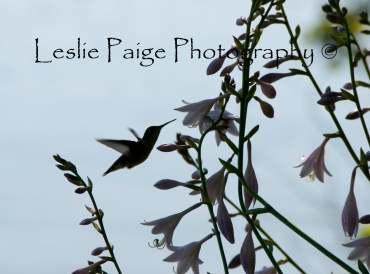 Hummingbird - Edited and Watermarked on top (13 of 15)