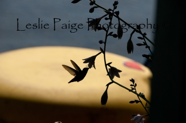 Hummingbird - Edited and Watermarked on top (4 of 15)