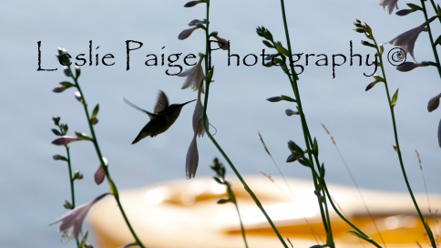 Hummingbird - Edited and Watermarked on top (6 of 15)