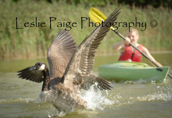 Driving the Geese 4 with watermark