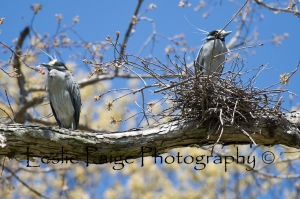 Golden Crested Night Heron with Watermark