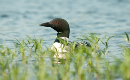 The Lake Loon