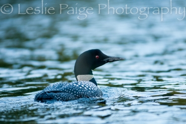 loon-lesliepaigephotography-7121