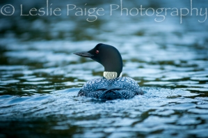 loon-lesliepaigephotography-7123
