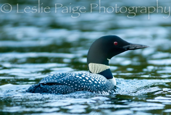 loon-lesliepaigephotography-7132